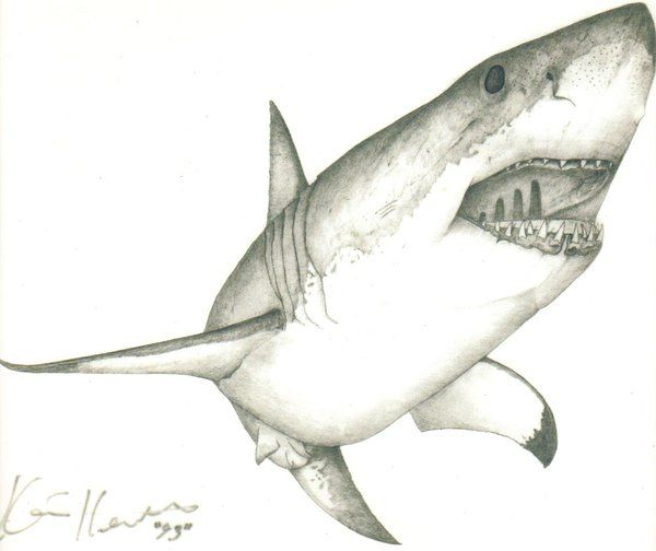 Large Drawing Of A Great White Shark