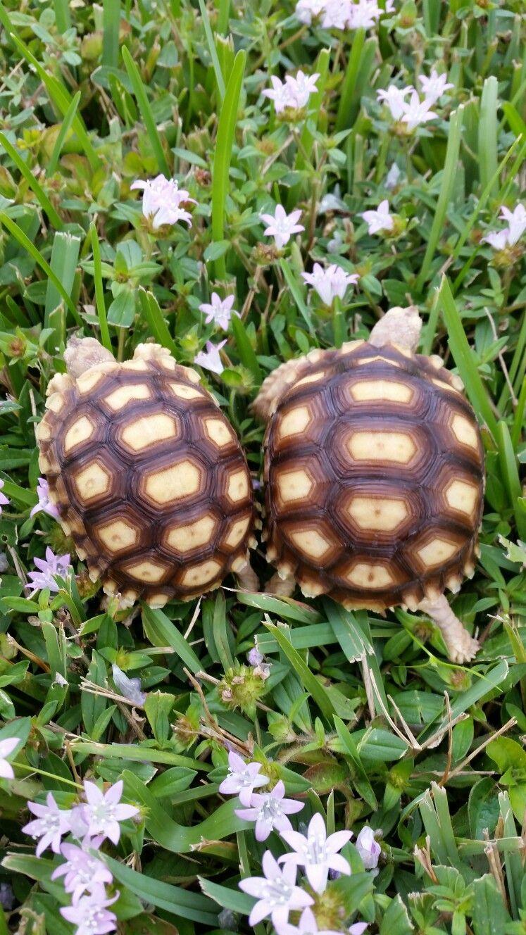 Pin by lisa zhou on sulcata tortoises pinterest sulcata tortoise