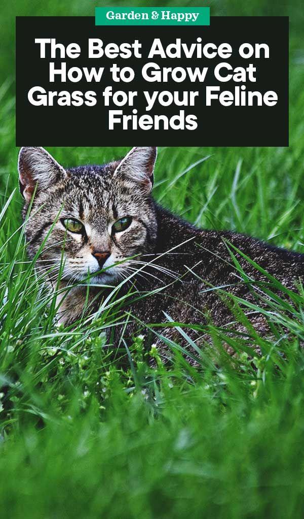 How to Grow Cat Grass for Your Feline Friends Cat grass