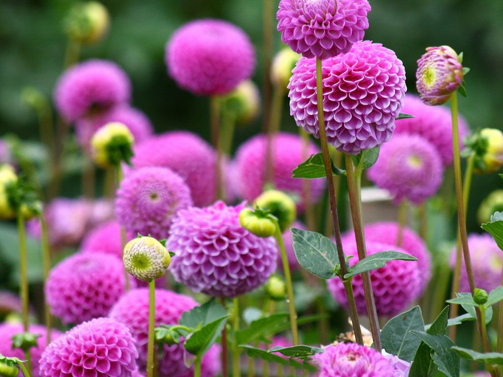 Dahlia Flower Care Information Flower Meanings Pictures And