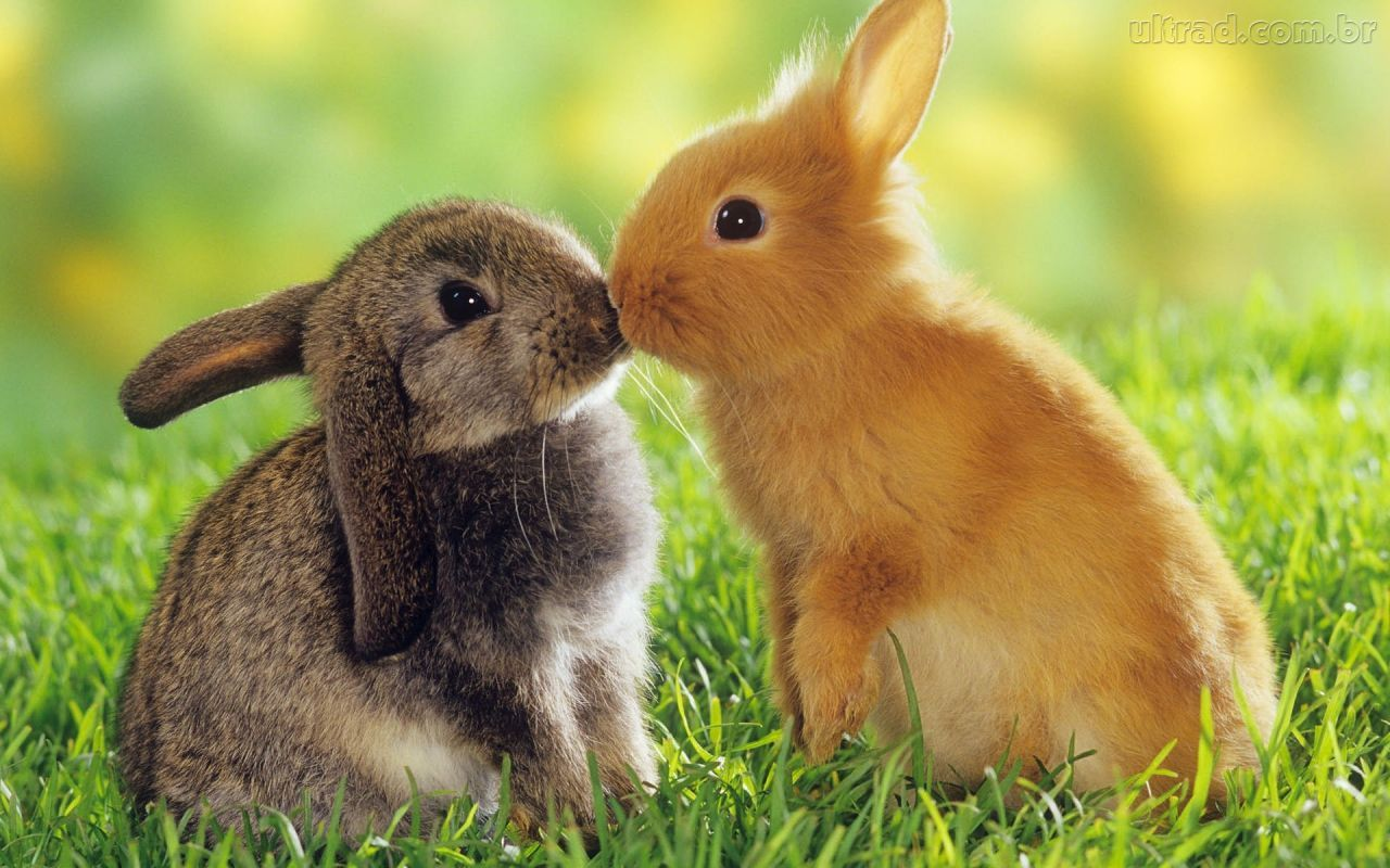 Papel de Parede - Beijo dos Coelhos