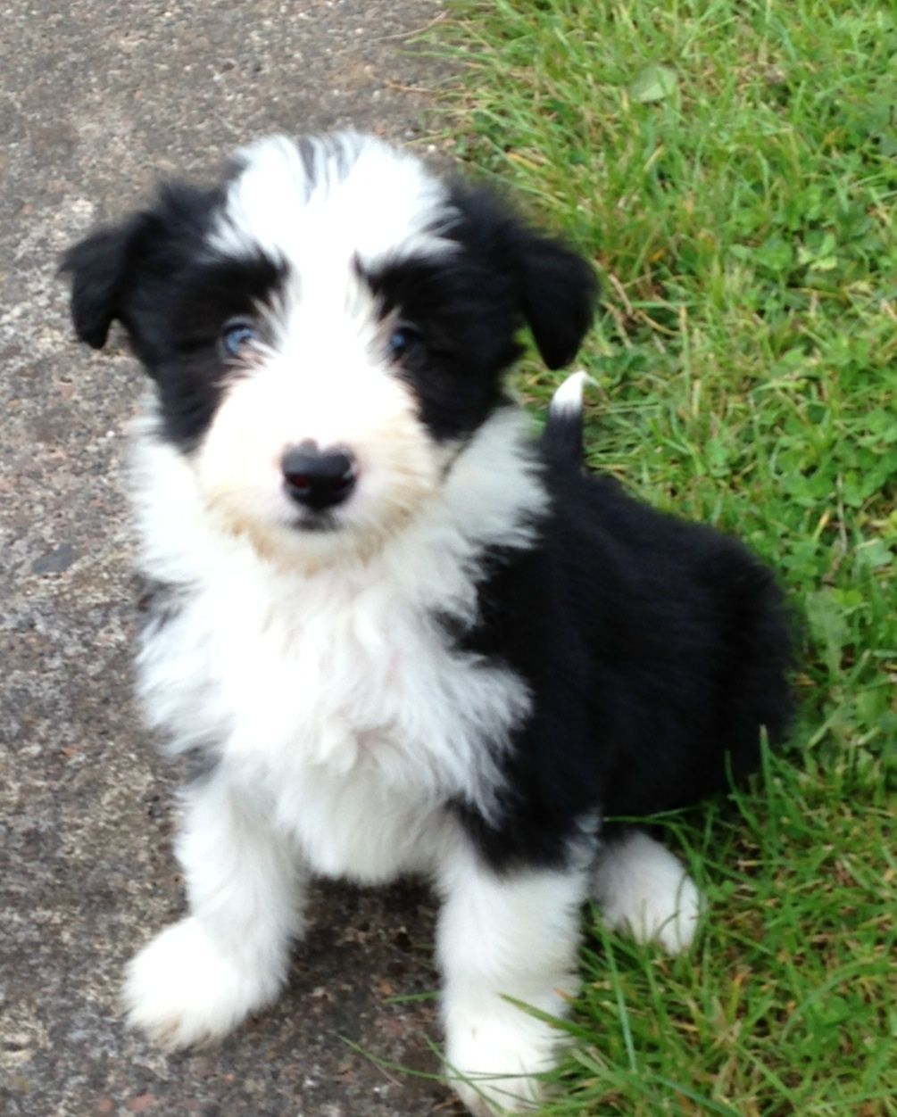 Lively bearded collie puppies Bearded collie puppies