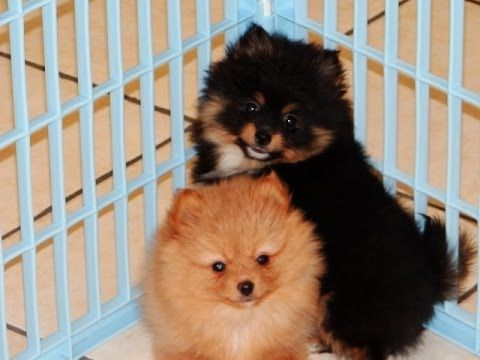 Pomeranian Puppies Dogs For Sale In Raleigh North Carolina In 2020 Pomeranian Puppy For Sale Pomeranian Puppy Cute Puppy Videos