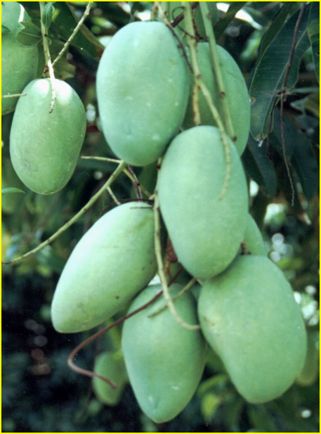 Nama Ilmiah Mangga : ilmiah, mangga, Fruits