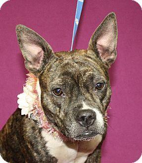 Jackson, MI   Boston Terrier Mix. Meet Kia, A Dog For Adoption.  Http://www.adoptapet.com/pet/15056103 Jackson Michigan Boston Terrier Mix