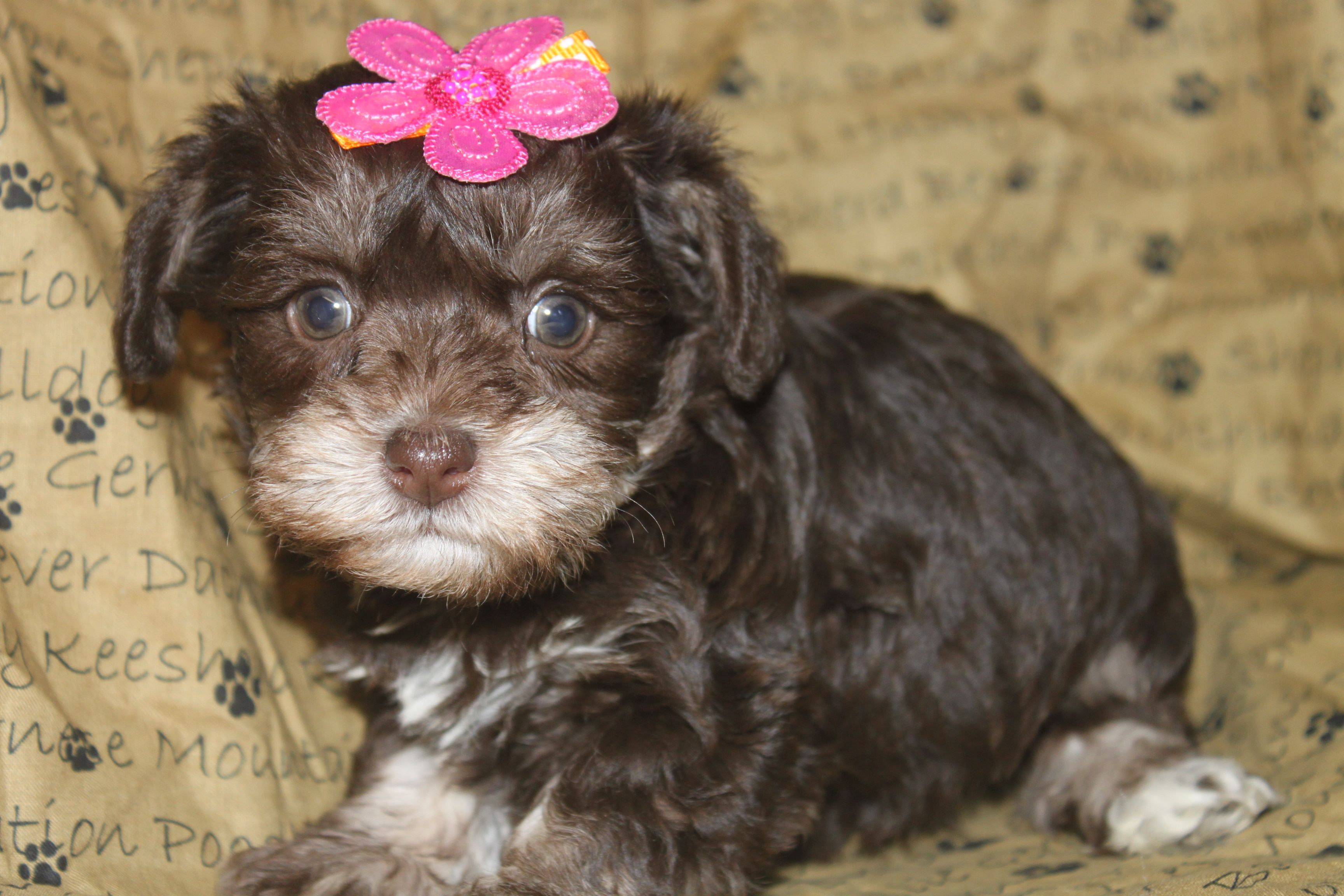 Cockapoo puppies for sale here is a female chocolate