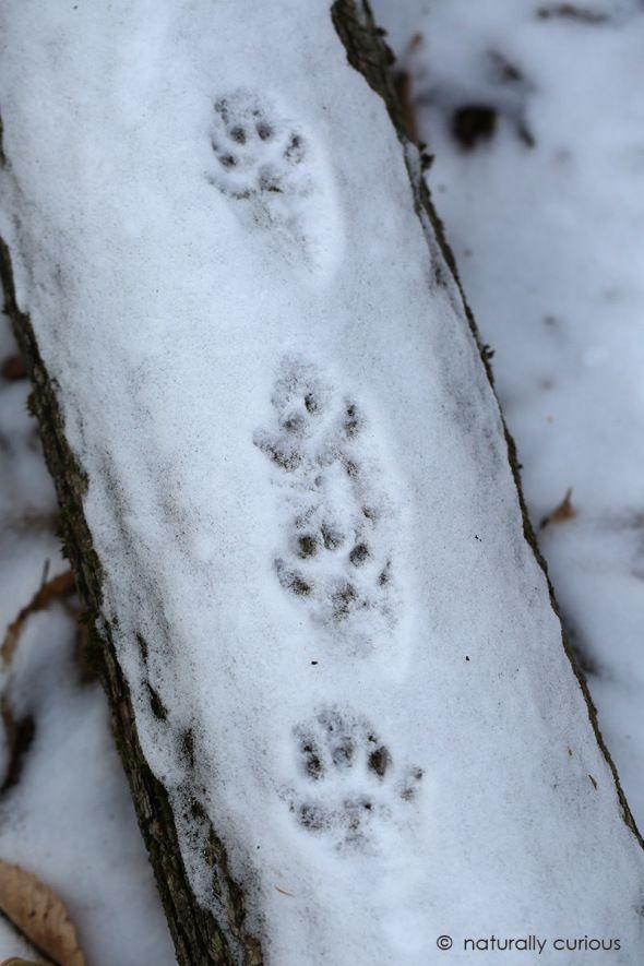 Fisher Tracks Fisher Cat Animal Tracks North American Animals