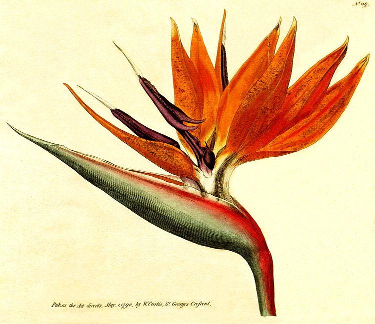 Strelitzia Reginae Anatomy Google Search Botanical Flowers Print Botanical Flowers Botanical Art