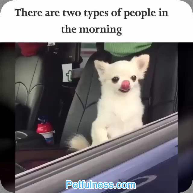 New Funny Pets What type are you? Two cute chihuahuas representing the two types of people in the morning.  Vist Petfulness.com for more funny petful stuff ;)  #dogmemes #cutepuppy #funny #jokes #funny #pictures Hot New Funniest 20 Dog Memes of the Day: Mood Changers  #meme #memes #funny #dog #dogs #doggo #dogmemes #cute #dogememe #pupper #puppy #animals #cuteanimals #cutedogs #life #joke #friends #trending #popular #lifestyle #dank #dankmemes memes funny, funny memes, ouat memes, riverdale memes, undertale memes, vkook memes 2
