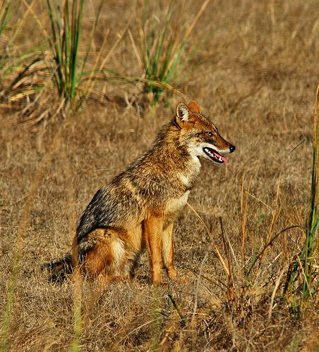 amazing animals whose names start with the letter j ~ jackal