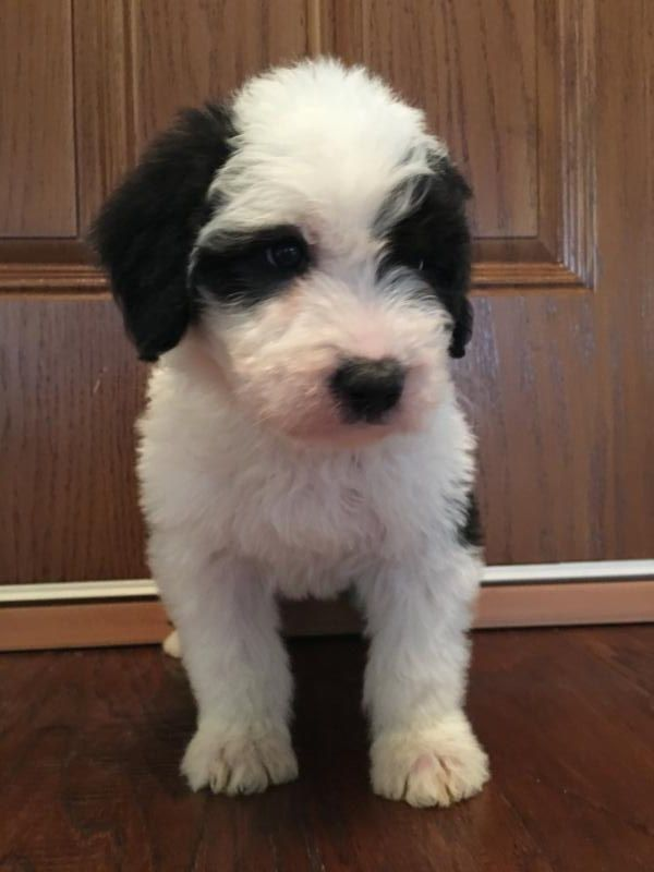 Mini Sheepadoodle Puppies For Sale Sheepadoodle Sheepadoodle