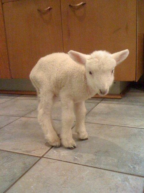 AWWW! baby lamb :)
