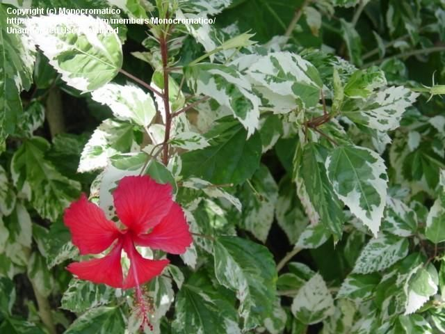 Replace The Brunsfelsia With Variegated Tropical Hibiscus Snow
