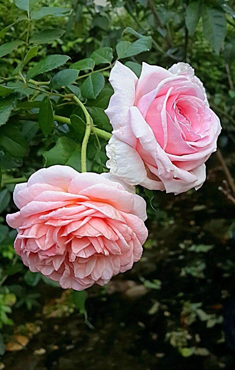 Epingle Par Ayla Sobral De Brito Sur Fleurs Roses Fleur Rose