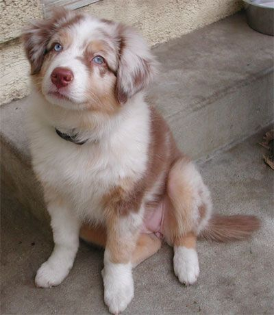 Pine Hill Aussies Misty S First Litter Cute Animals Animals Beautiful Puppies