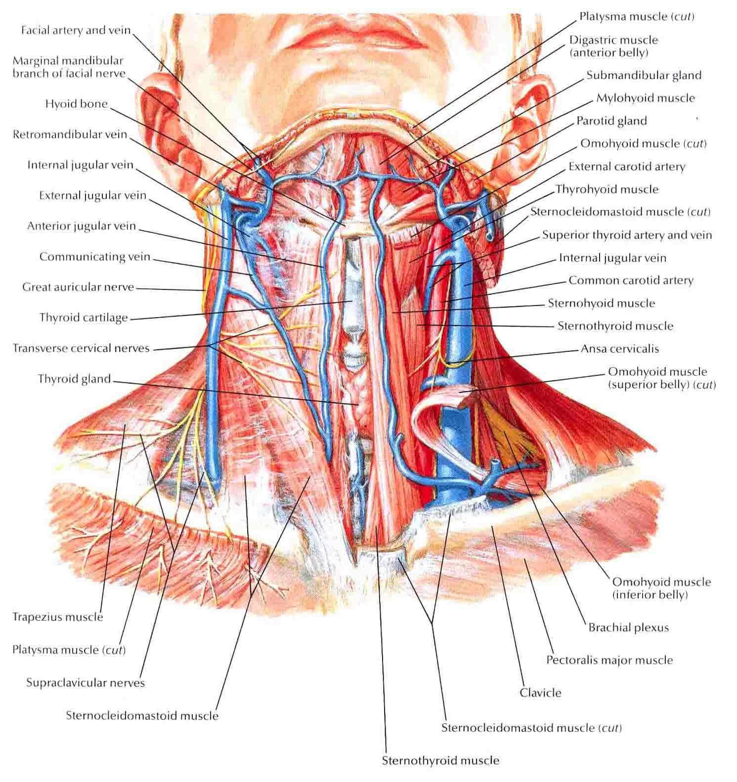 human neck muscles diagram human anatomy drawing pinterest rh pinterest com human body nerve system diagram nerves of the human arm [ 1491 x 1581 Pixel ]