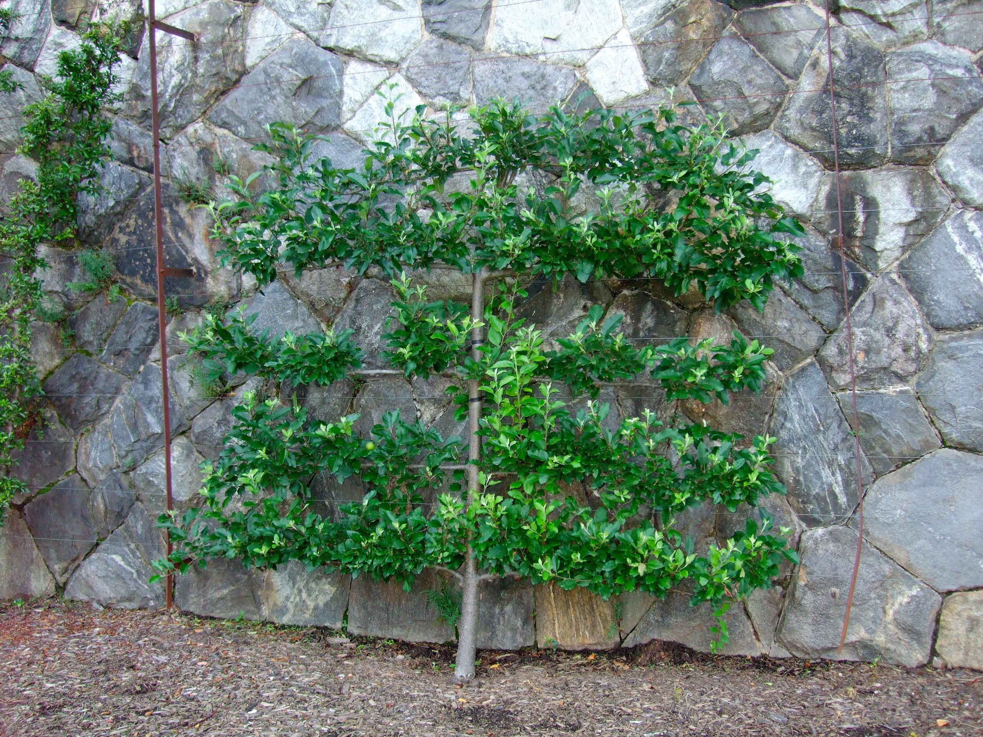 Grow Dwarf Fruit Trees Against A Wall Dwarf Fruit Trees Fruit