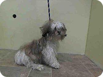 New York Ny Shih Tzu Mix Meet Gordo A Dog For Adoption Http