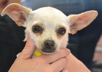 Petango Com Meet Kyla A 1 Year Chihuahua Short Coat Available