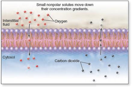 Simple diffusion occurs when small, nonpolar molecules