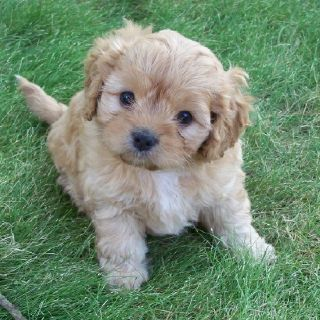 Cavoodle Puppy 3 Cavapoo Dogs Puppies Cute Puppies