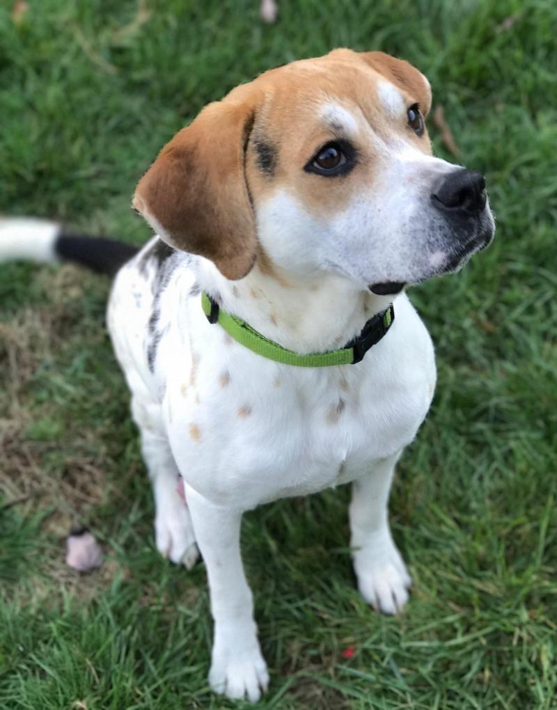 Adopt Trinity On Adoptable Beagle Beagle Dog Beagle