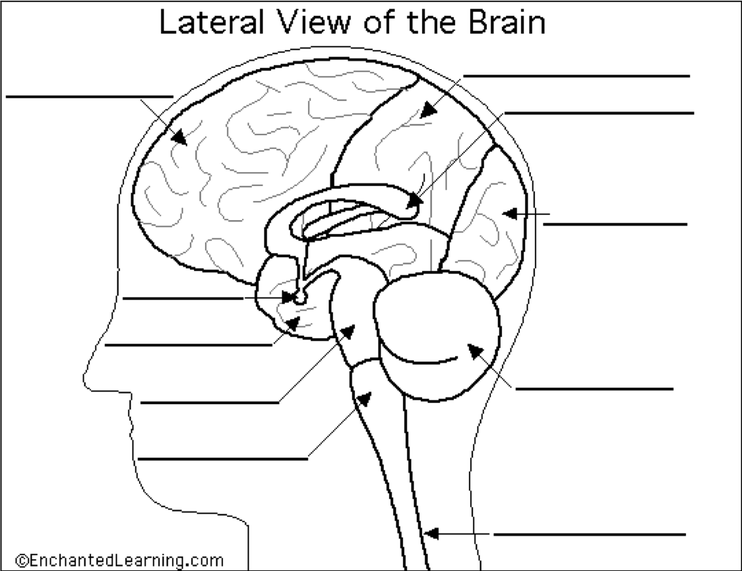 Pin By Dani Kravsovsigam On Anatomy Coloring Book In 2020 Anatomy  Coloring Book, Brain Anatomy, Brain Diagram