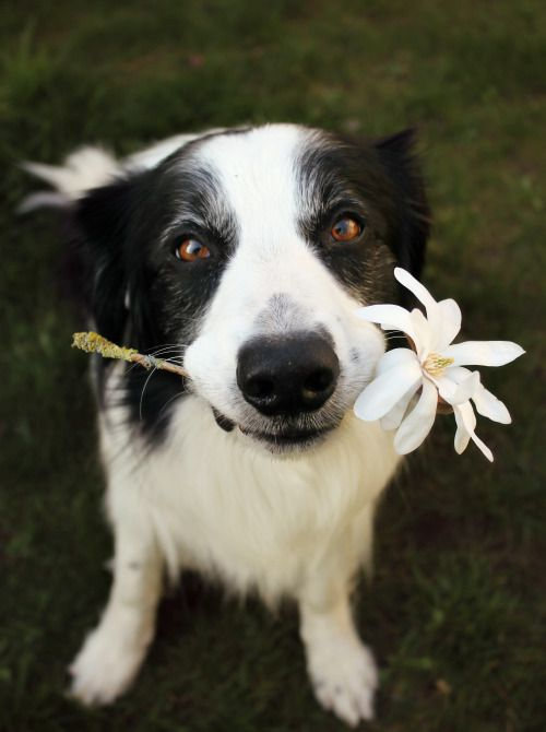Border Collie Offering A Flower To Someone Cute Animals Dogs