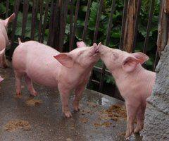 i want a pig so bad. lol