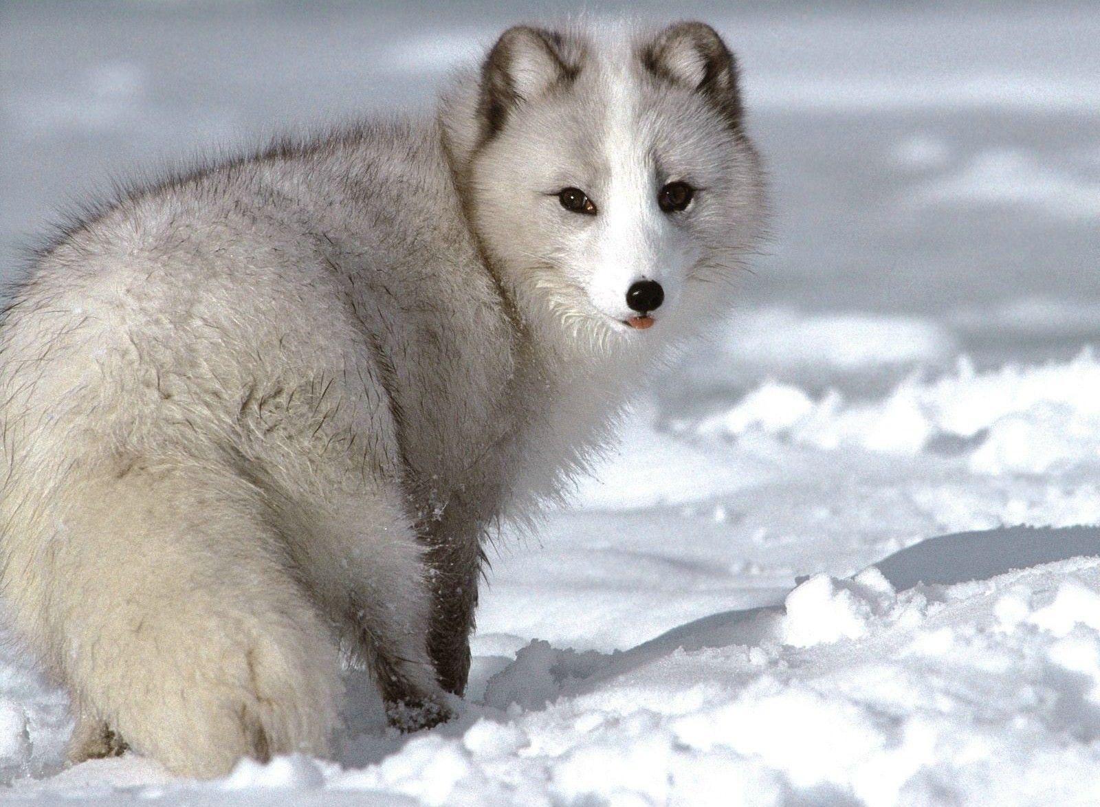 cute+animals Cute Animals Arctic Foxes Arctic animals