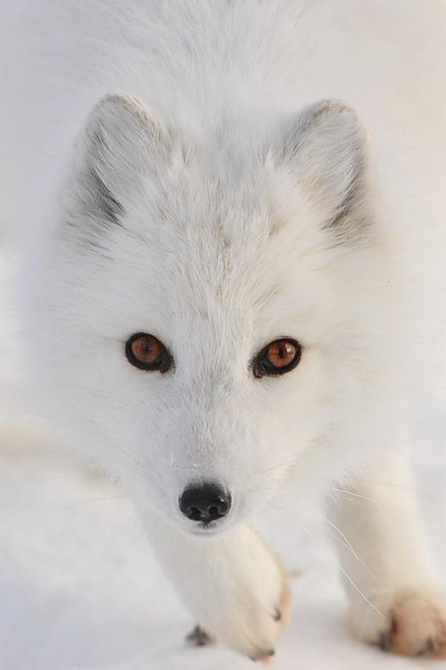 Arctic Fox  (by Natally on Flickr)