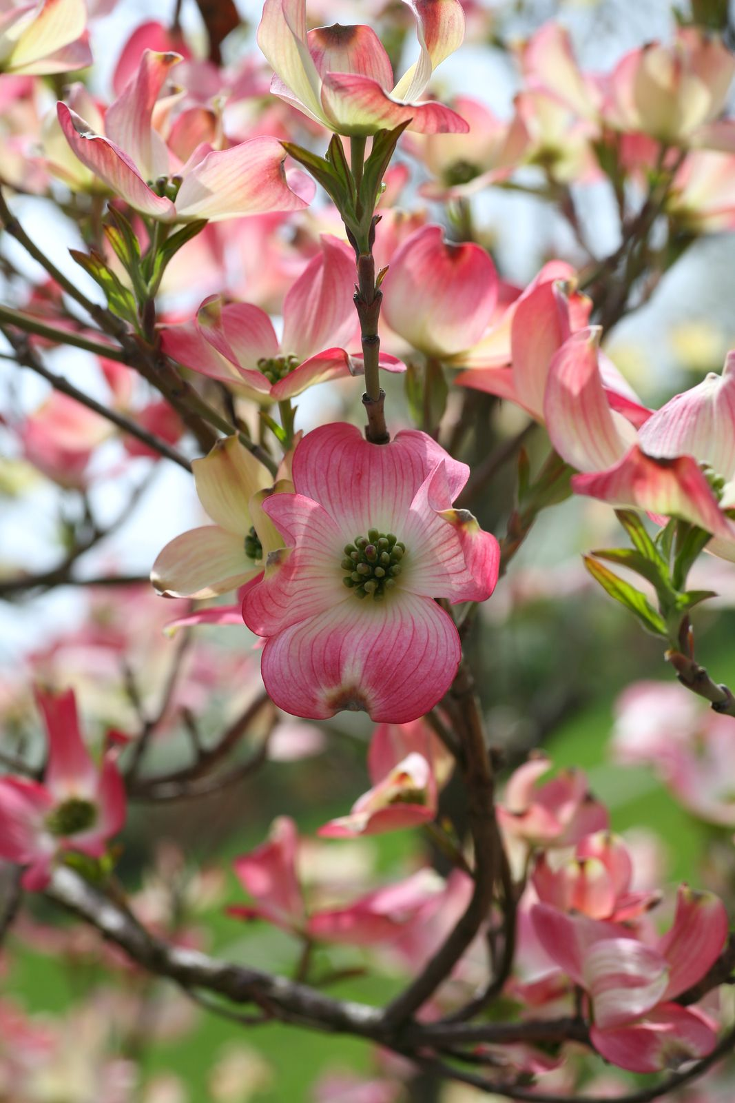 Pink dogwood not usually a fan of pink but this is beautiful i pink dogwood my neyland tree in honor of my grandson mightylinksfo