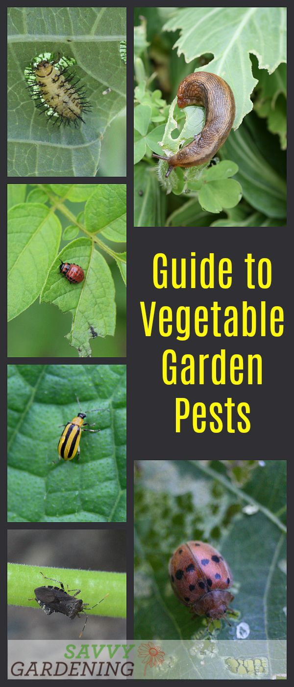 Guide To Vegetable Garden Pests: Identification And