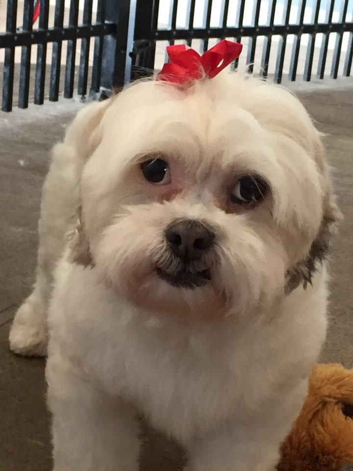 Adopt litzy on pets havanese dogs havanese