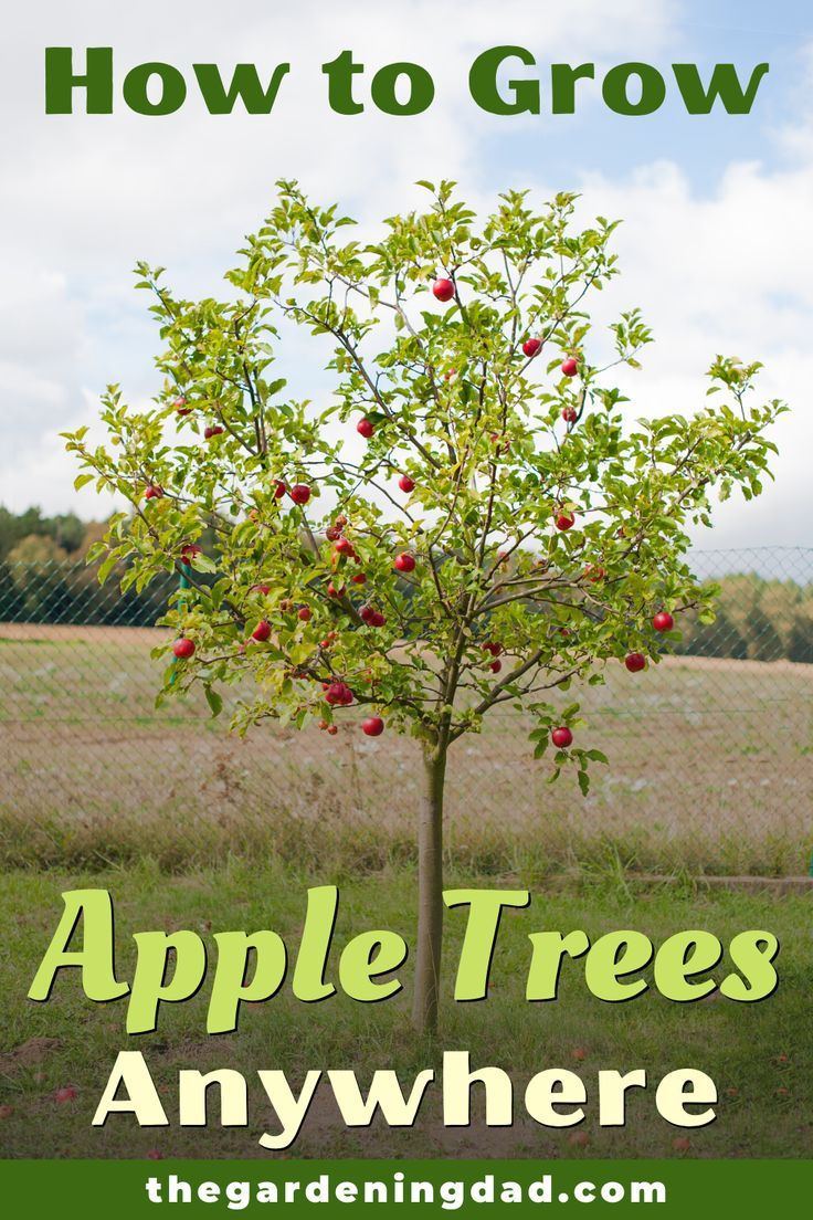 How to Grow Apple Trees in 10 Easy Steps - The Gardening ...