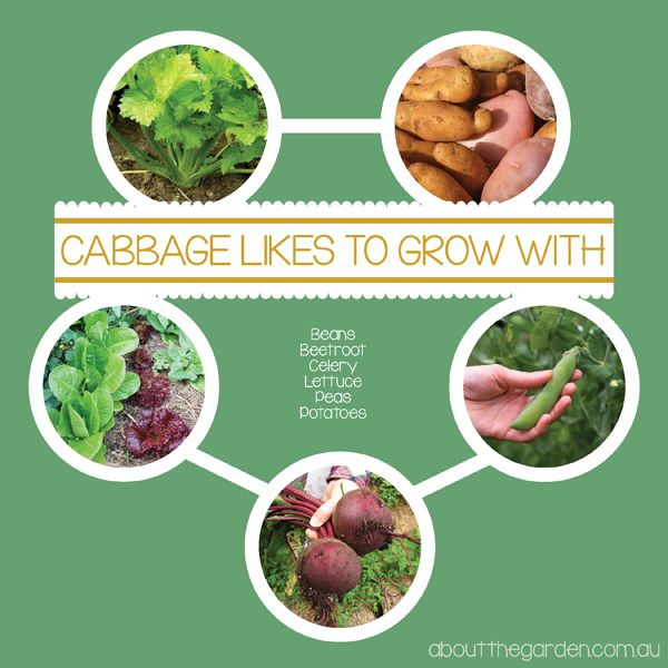 25 Best Ideas About Growing Cabbage On Pinterest: Companion Planting With Cabbage Australia Vegetable Garden