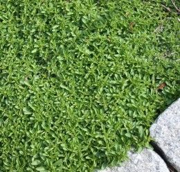 Low maintenance ground covers that suppress weeds thymus for Best low growing groundcover for full sun