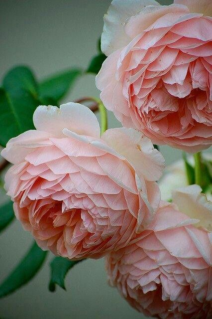 Cabbage Roselooks A Lot Like A Peony This Is One Of My Favorite