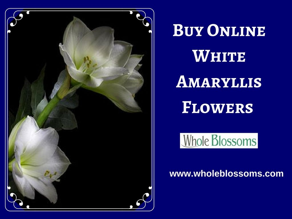 If you want to purchase fresh cut white amaryllis flowers for sale flower if you want to purchase izmirmasajfo