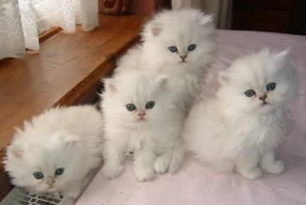 Snow White Teacup Persian Kittens...want them...so cute