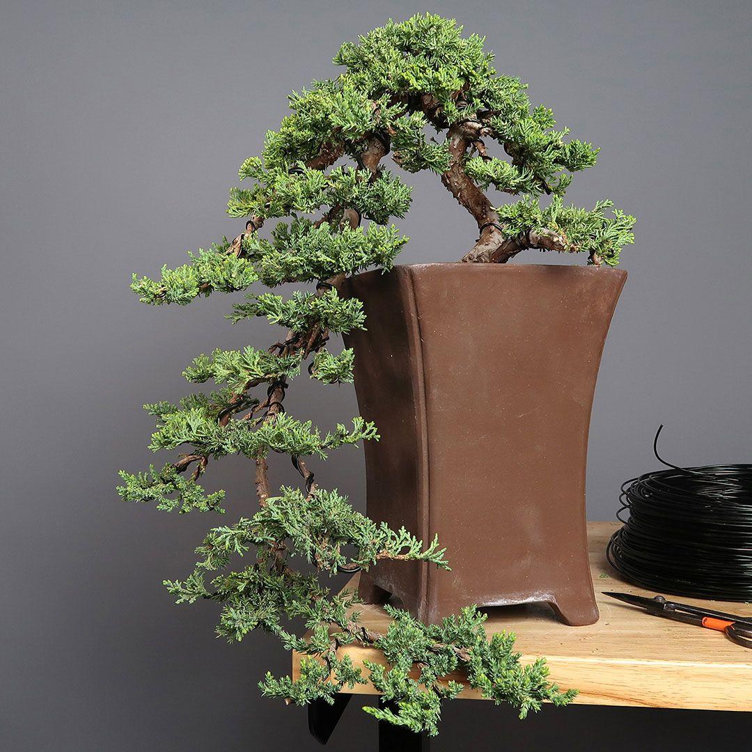 Cascade Bonsai Juniper By Jason Chan Bonsai Tree Bonsai Tree Types Indoor Bonsai Tree