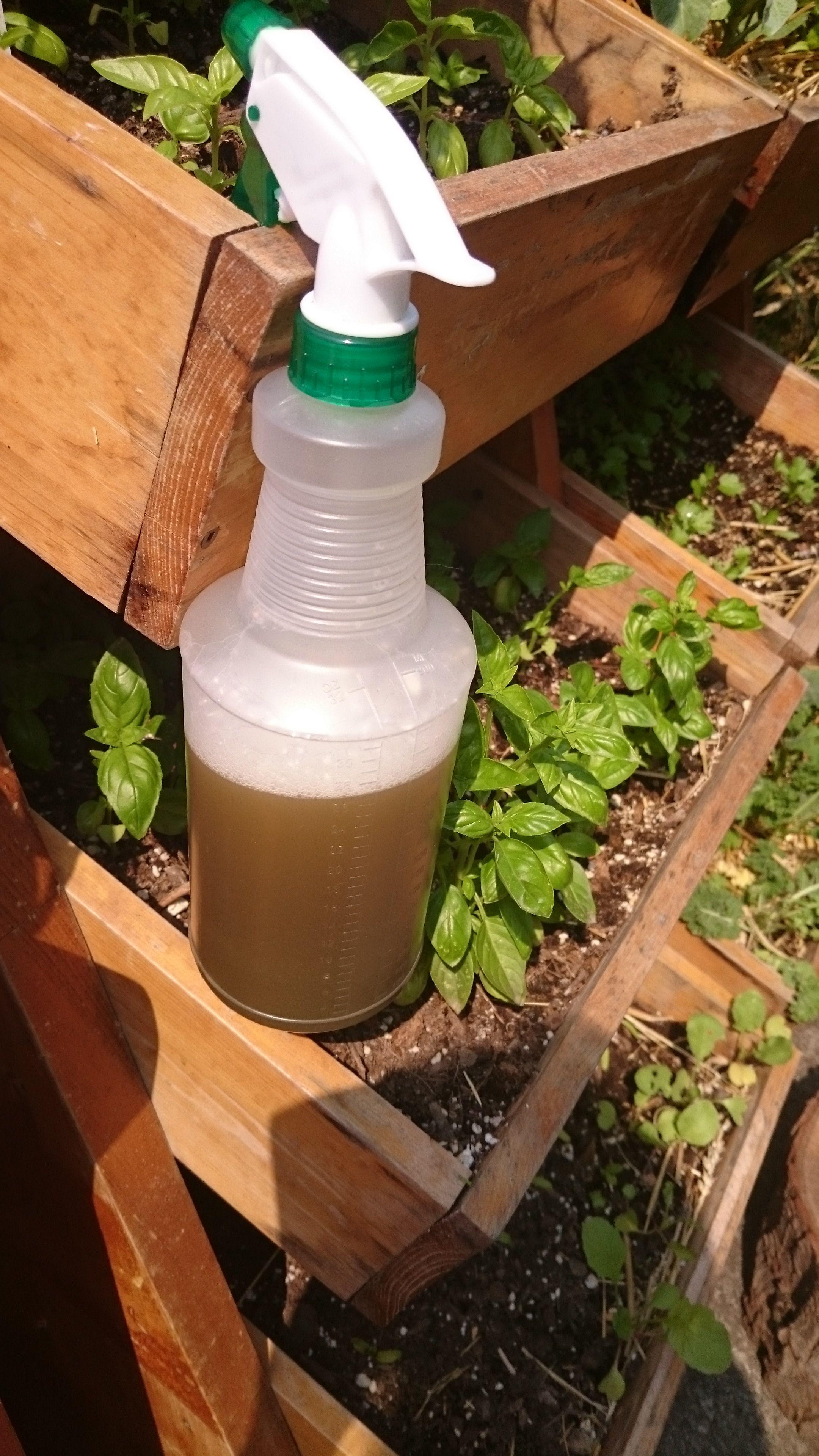 Neem for bug & slug control! Slugs jumped from lettuce! | garden ...