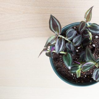 How to Care for a Wandering Jew Plant #wanderingjewplant
