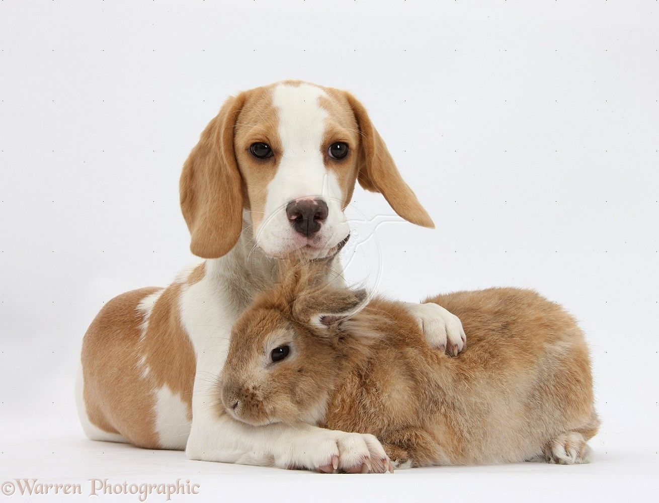 Pets Orange And White Beagle Pup And Rabbit Photo Wp32002