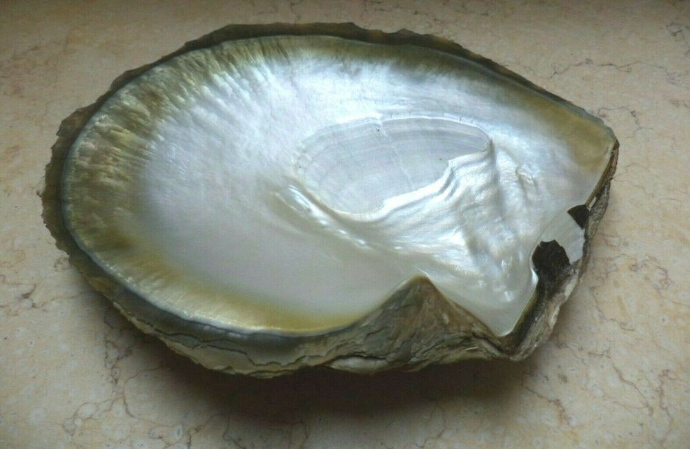 GIANT mother of pearl Mussel shell