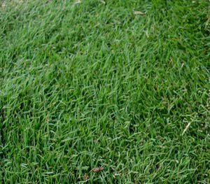 How To Plant Winter Ryegrass In The Desert Bermuda Grass Seed Bermuda Grass Grass Type