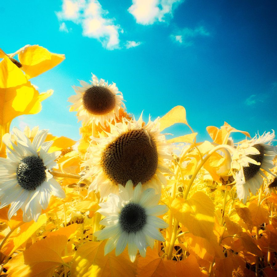 Sun and Flowers by myINQI.deviantart.com on @deviantART