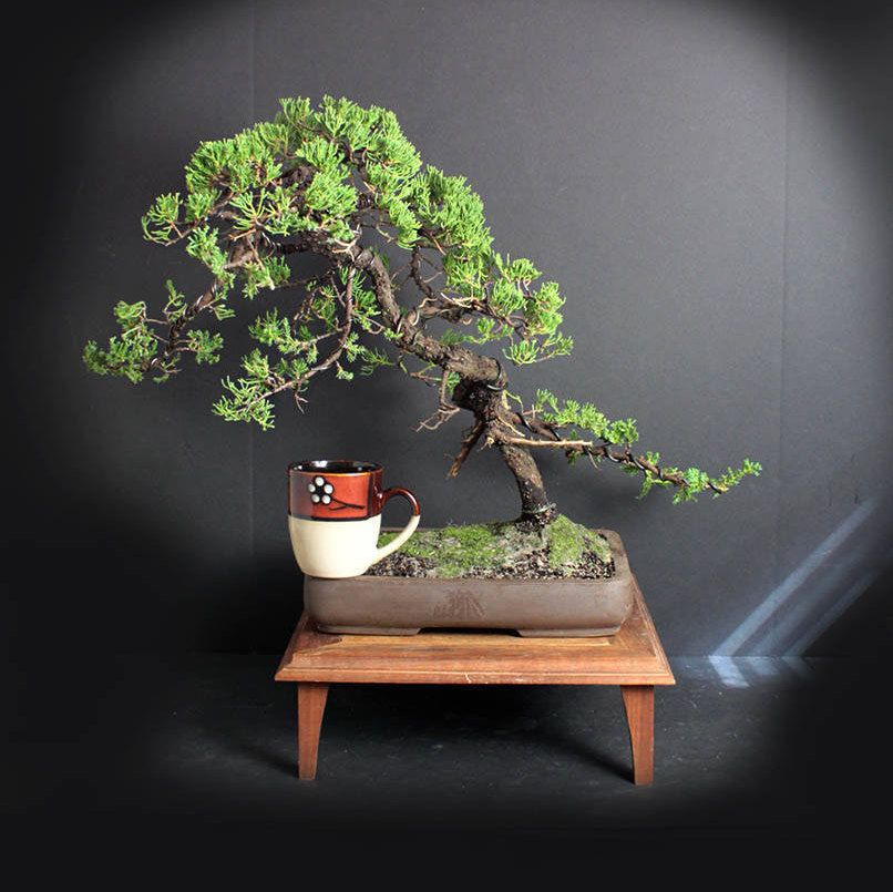 Juniper Procumbens Nana Bonsai Tree From The Estate Of Hirobumi Aso By Livebonsaitree On Etsy Bonsai Tree Bonsai Bonsai Art