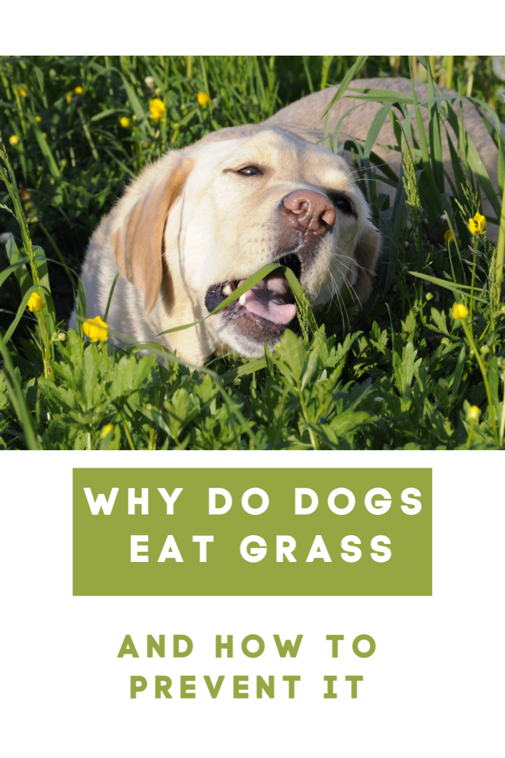 Why Do Dogs Eat Grass And How To Prevent It Dogs Dog Care Dog Nutrition