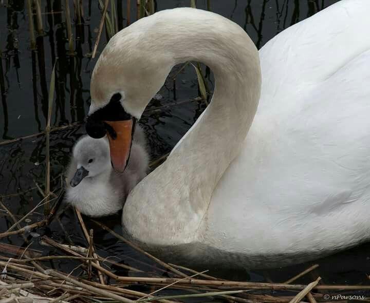 26+ Swan cygnet ideas